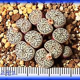 Conophytum Wittebergense|