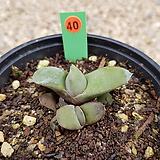 하월시아 미니와우 05-0040|haworthia