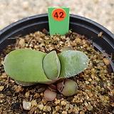 하월시아 미니와우 05-0042|haworthia