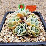 포토시나 05-0047|Echeveria elegans Potosina