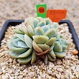 포토시나 05-0050|Echeveria elegans Potosina