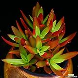 화제 2|Crassula Americana cv.Flame