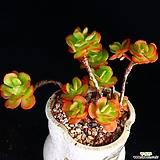 중대품 묵은둥이 홍매화 자연군생 1|Echeveria Multicalulis  Ginmei Tennyo