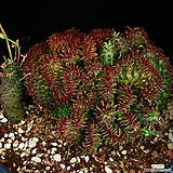 중대품 괴마옥철화 1|Euphorbia hypogaea