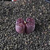 XP3427-C.pellucidum subsp. pellucidum var. neohallii Makins Plum 마킨스 플럼2두|