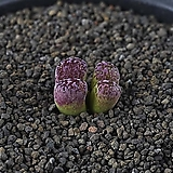 XP3428-C.pellucidum subsp. pellucidum var. neohallii Makins Plum 마킨스 플럼2두|