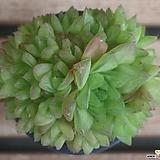 경화금|Haworthia cymbiformis f. variegata