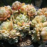 라즈베리아이스0520 Echeveria Rasberry Ice