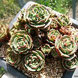 호주롱기시마(적심50두정도))0520 Echeveria longissima