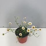 3가지 꽃이피는 원평소국|