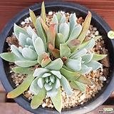 화리노사 0547|Dudleya farinosa Bluff Lettuce