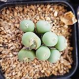 conophytum|