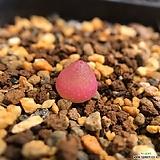 부르게리 340520 Conophytum burgeri