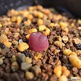 마우가니레드 380520 Conophytum maughanii