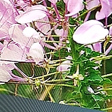 족두리꽃|
