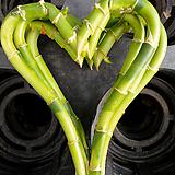하트개운죽대나무-30센티수경1급공기정화식물|