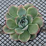 황홀한 연꽃 금_w143|Echeveria pulidonis