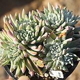 화이트그리니 자연군생 810520 Dudleya White gnoma(White greenii / White sprite)