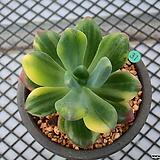 청성미인 금_g31|Pachyphytum Doctor Cornelius