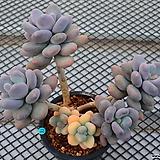 오비포럼 금 군생_g33|Pachyphytum oviferum