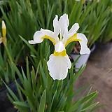 붓꽃(흰꽃)|