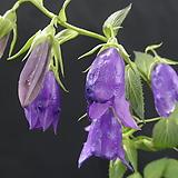 청강초롱꽃 