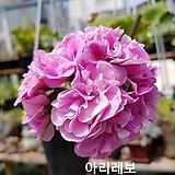 아리레보+꽃사진첨부(제라늄2개)|Geranium/Pelargonium