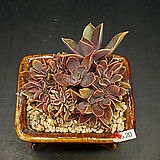 흑괴리철화(5.20)|Graptoveria Fred Ives