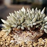 알스토니(백화) 9105-5047|Avonia quinaria ssp Alstonii