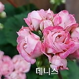 데니스+꽃사진첨부(제라늄2개)|Geranium/Pelargonium
