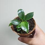 필로덴드론버킨수입식물10159960|