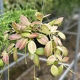 호야옵스쿠라수입식물공중식물507011970|Hoya carnosa