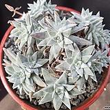 화이트그리니 18두자연군생 목대-37|Dudleya White gnoma(White greenii / White sprite)
