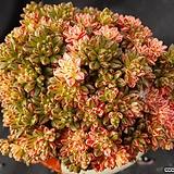 소인제금 자연군생-26|Aeonium  sedifolius