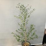 키큰올리브나무 (동일품배송)|