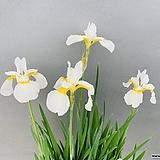 귀한흰색붓꽃|