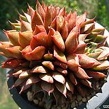 푸미라0521-1 Echeveria pumila