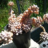베이비핑거(자연군생)0521-2 Pachyphytum Machucae (baby finger)