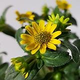 미니해바라기(꽃대많음)|