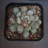 홍포도 29|Graptoveria Ametum