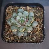 홍포도 30|Graptoveria Ametum