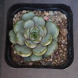 홍포도 31|Graptoveria Ametum