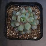 홍포도 32|Graptoveria Ametum
