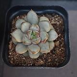홍포도 35|Graptoveria Ametum