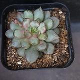 홍포도 36|Graptoveria Ametum