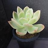 골든글로우(목대) 39|Echeveria cv. Golden Glow