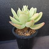 골든글로우(목대) 40|Echeveria cv. Golden Glow