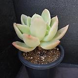 골든글로우(목대) 41|Echeveria cv. Golden Glow