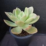 골든글로우(목대) 42|Echeveria cv. Golden Glow