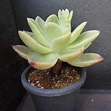 골든글로우(목대) 46|Echeveria cv. Golden Glow